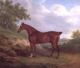 A Chestnut Thoroughbred