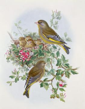 Greenfinch, 1873 (w/c, pencil on