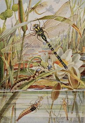 Dragonfly and Mayfly, illustration from 'Stories of Insect Life' by William J. Claxton, 1912 (colour