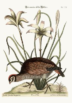 The American Partridge