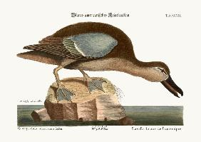 The Blue-wing Teal