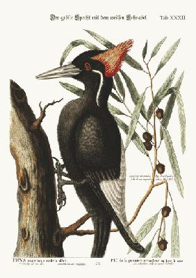 The largest white-bill Woodpecker