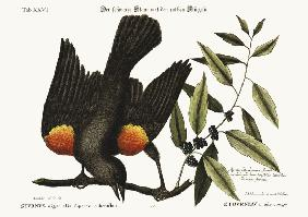The red-winged Starling