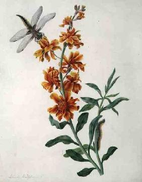 Erysium Cheiri with Dragonfly and Caterpillar (w/c and gouache over pencil on vellum)