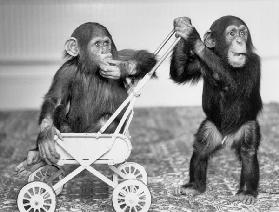 Chimpanzees Jambo and William at Twycross zoo, England