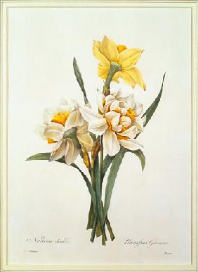 Narcissus gouani (double daffodil), engraved by Bessin, from 'Choix des Plus Belles Fleurs'
