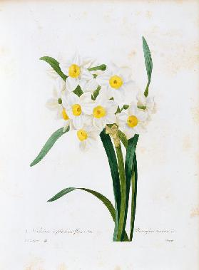 Bunch-flowered Narcissus / Redouté