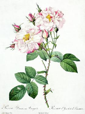 Rosa damascena variegata (York and Lancaster rose), engraved by Bessin, from 'Les Roses'