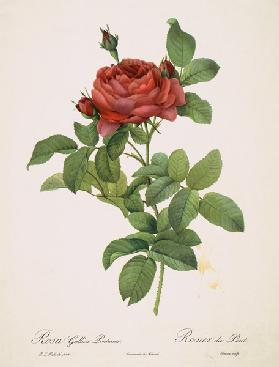Rose / Stipple Engraving after Redoute