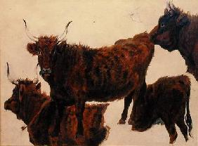 Studies of Highland Cattle