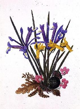 Iris reticulata, Cyclamen and Narcissus cyclamineus (w/c on paper)