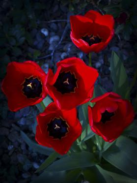 Tulips in the evening II